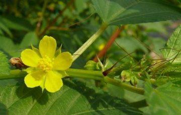 モロヘイヤの花