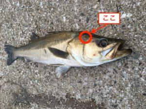 魚を締める時のポイント